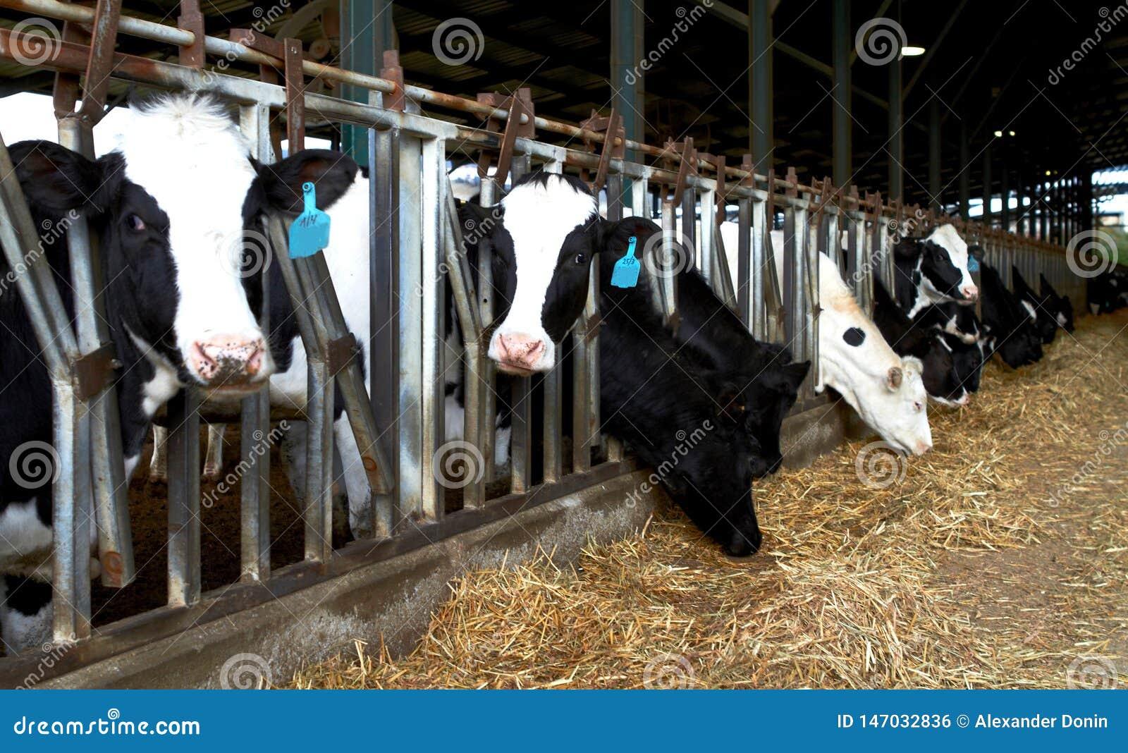 Les vaches cultivent des kibboutz, Israel Spring Feeding