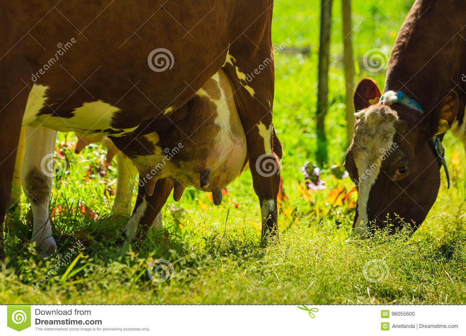 Les vaches frôlent sur le champ vert de pré