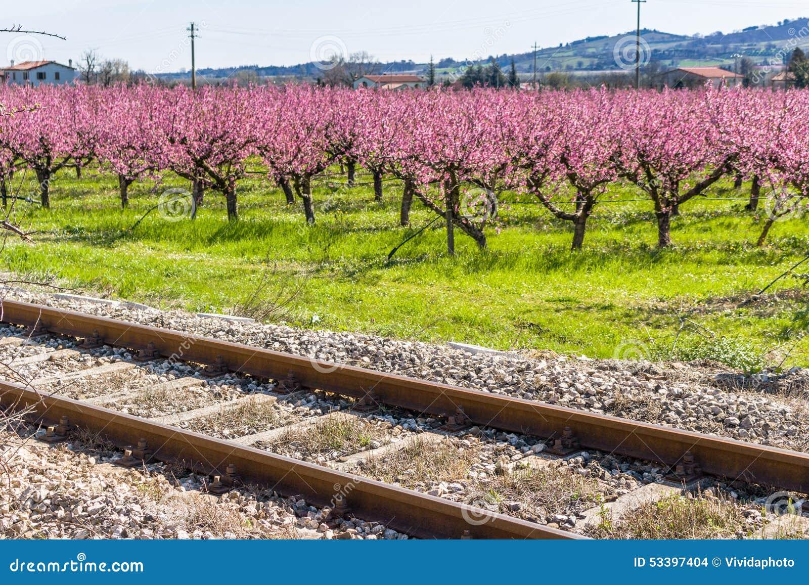 Les voies ferrées le long des pêchers de floraison ont traité avec fongique
