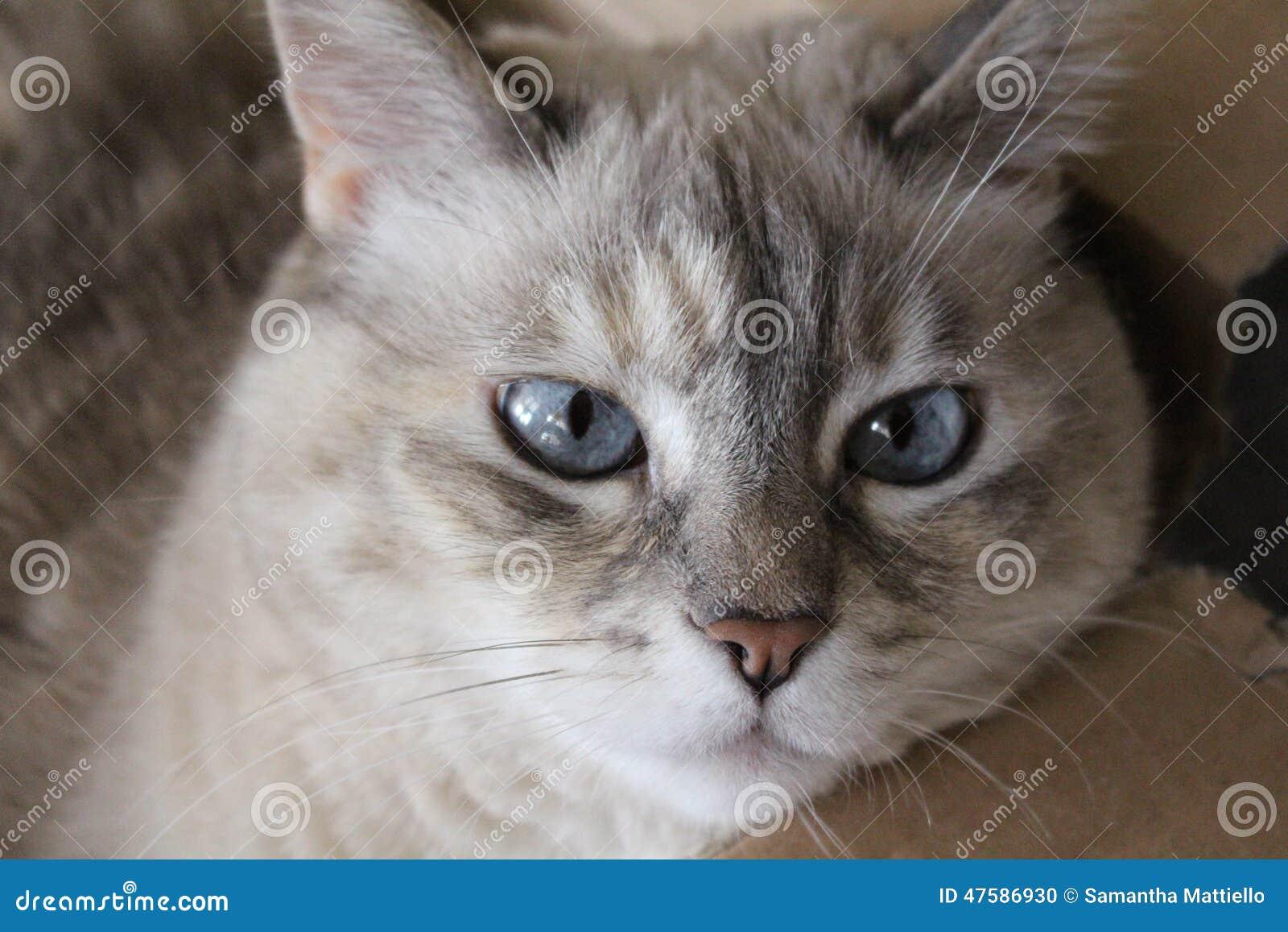 les yeux bleus d 39 un chat siamois photo stock image 47586930. Black Bedroom Furniture Sets. Home Design Ideas