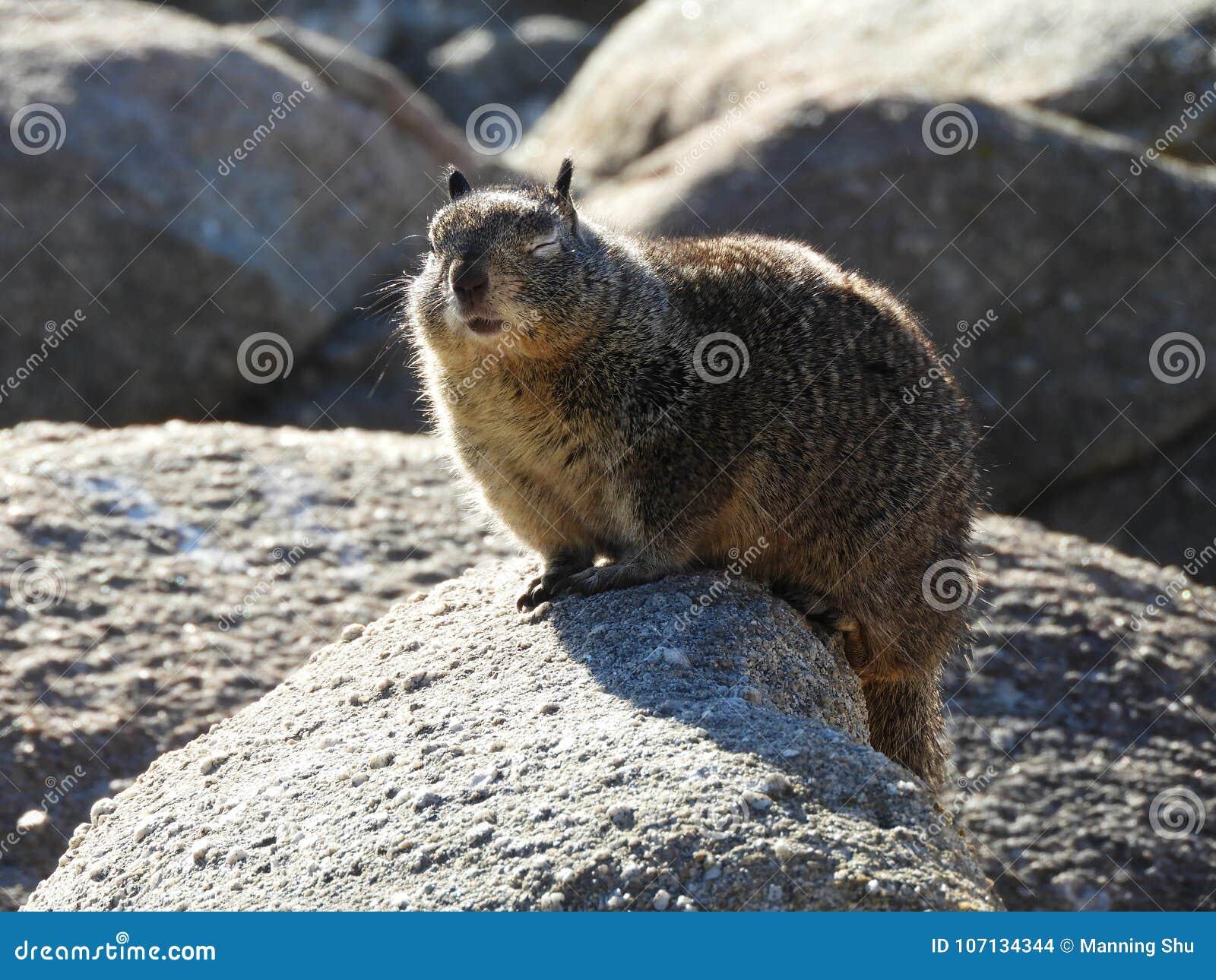 Les yeux de clignotement ont fermé l écureuil moulu de la Californie