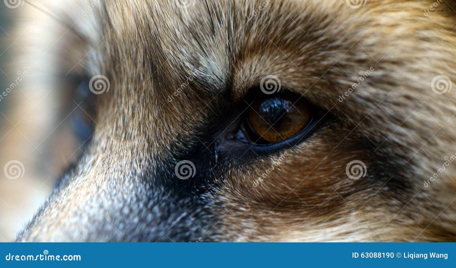 Download Les yeux du Fox rouge photo stock. Image du yeux, illustrations - 63088190