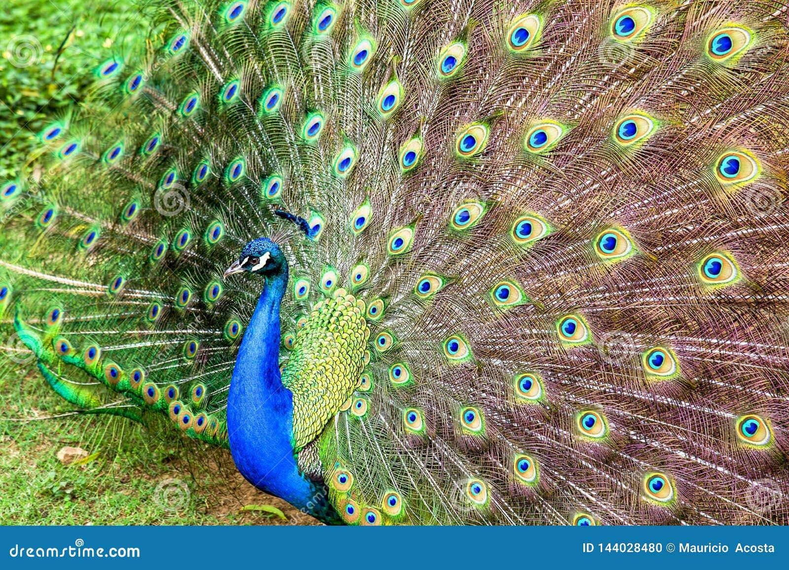 Les yeux multiples de plumes de queue de l apeacock
