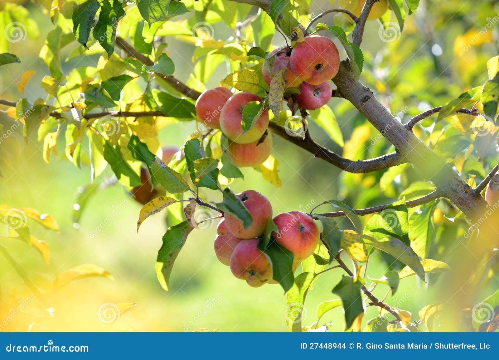 Lesen Sie Äpfel an der Ernte