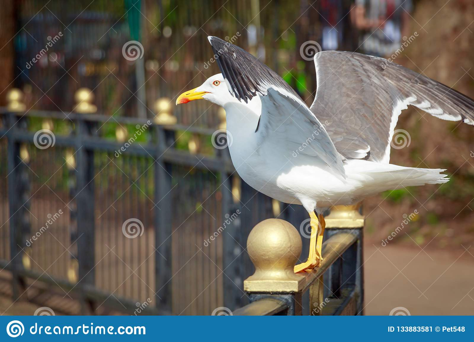 Lesser black-backed gull with open wings