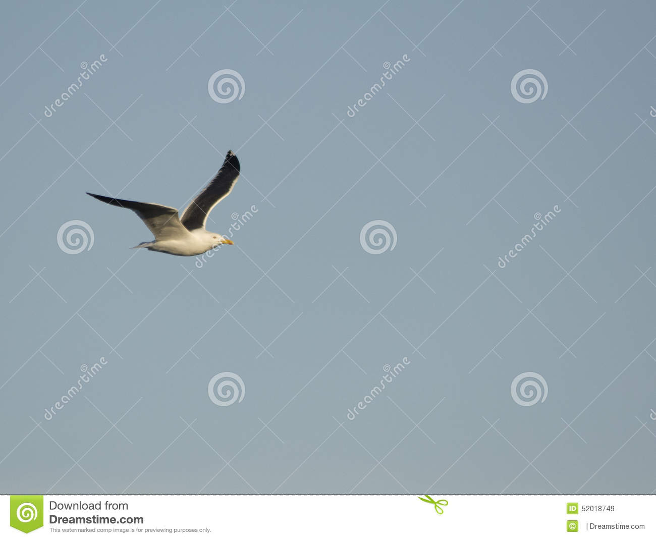 Lesser Blacked Back Gull Stock Image Image Of Early 52018749