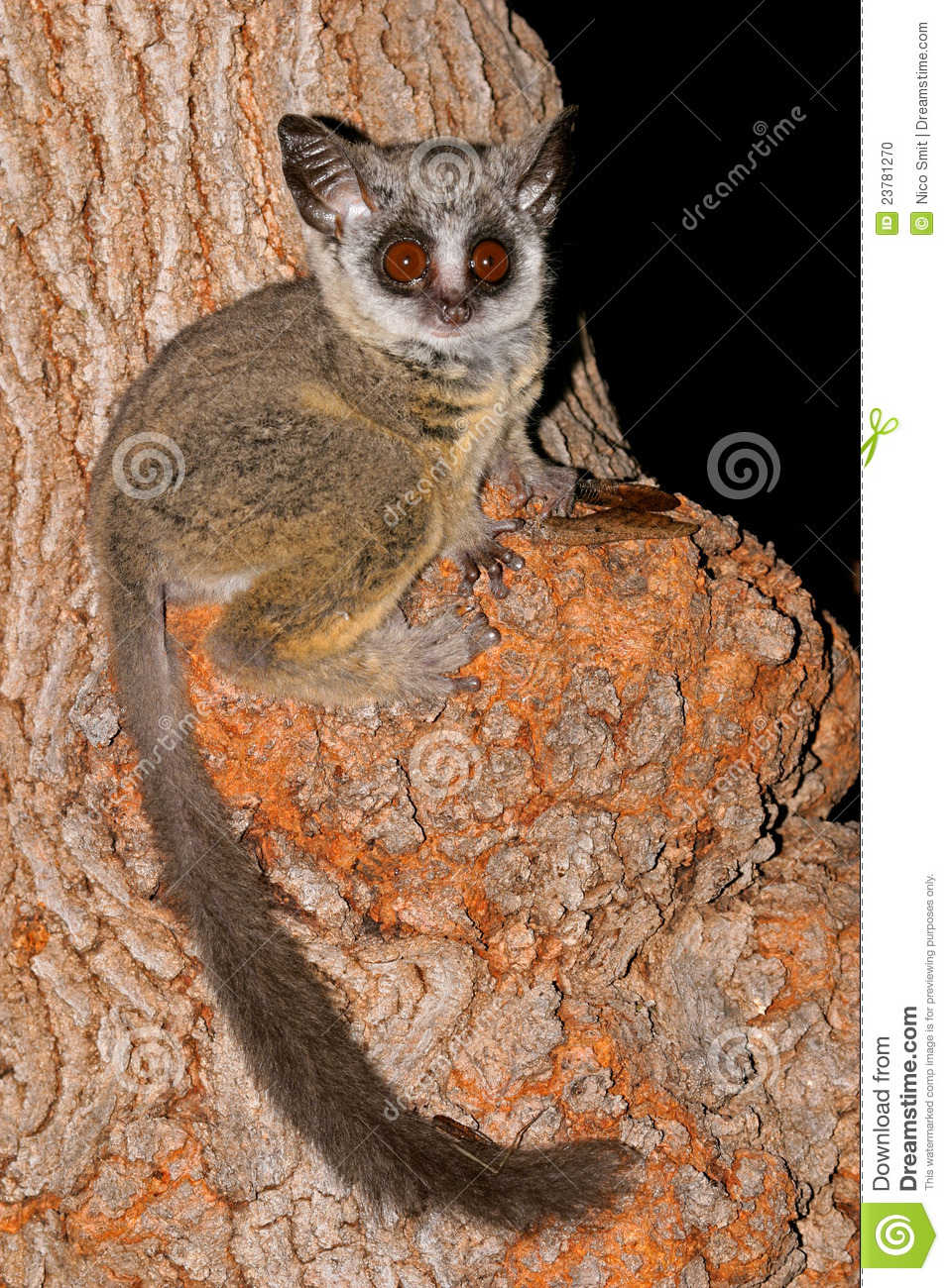 Lesser Bushbaby Stock Photo Image Of Tail Watchful