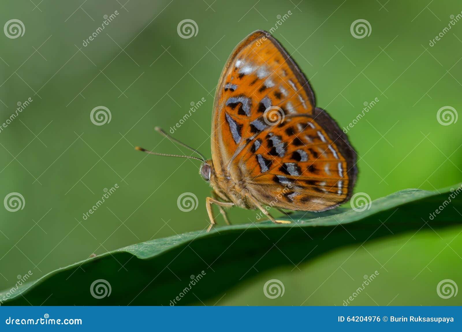 Lesser Harlequin nombrado mariposa