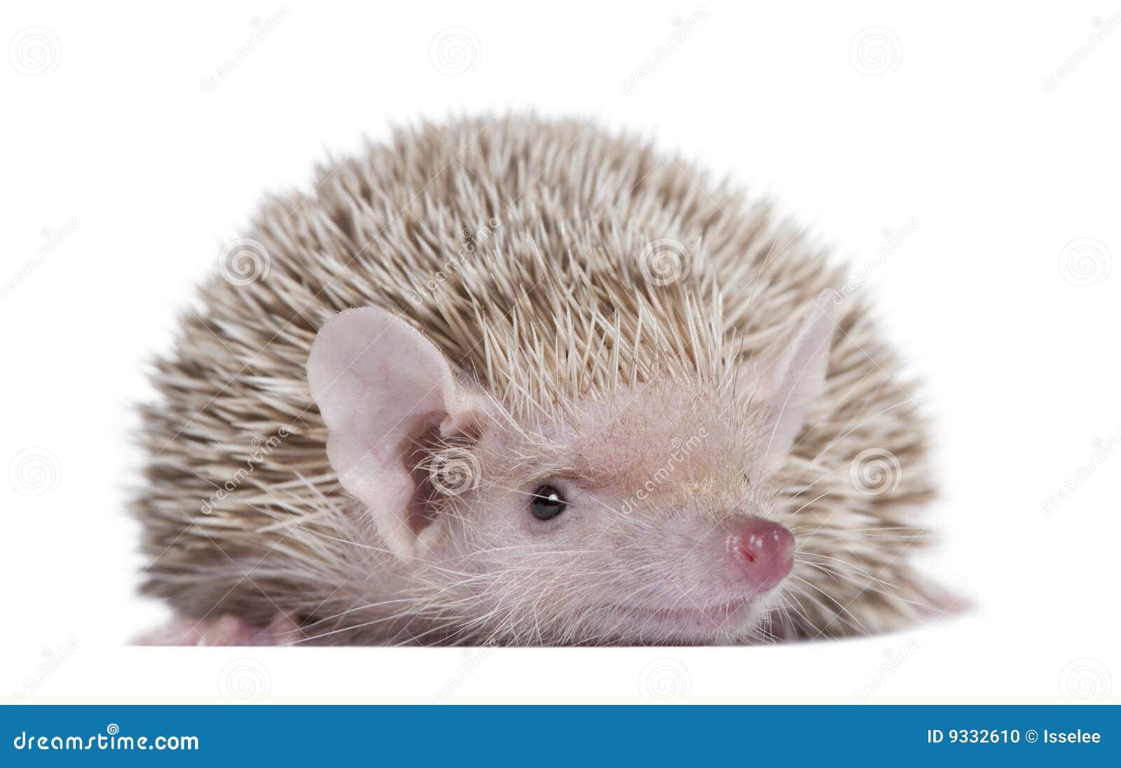Lesser Hedgehog Tenrec Echinops Telfairi Stock Photo