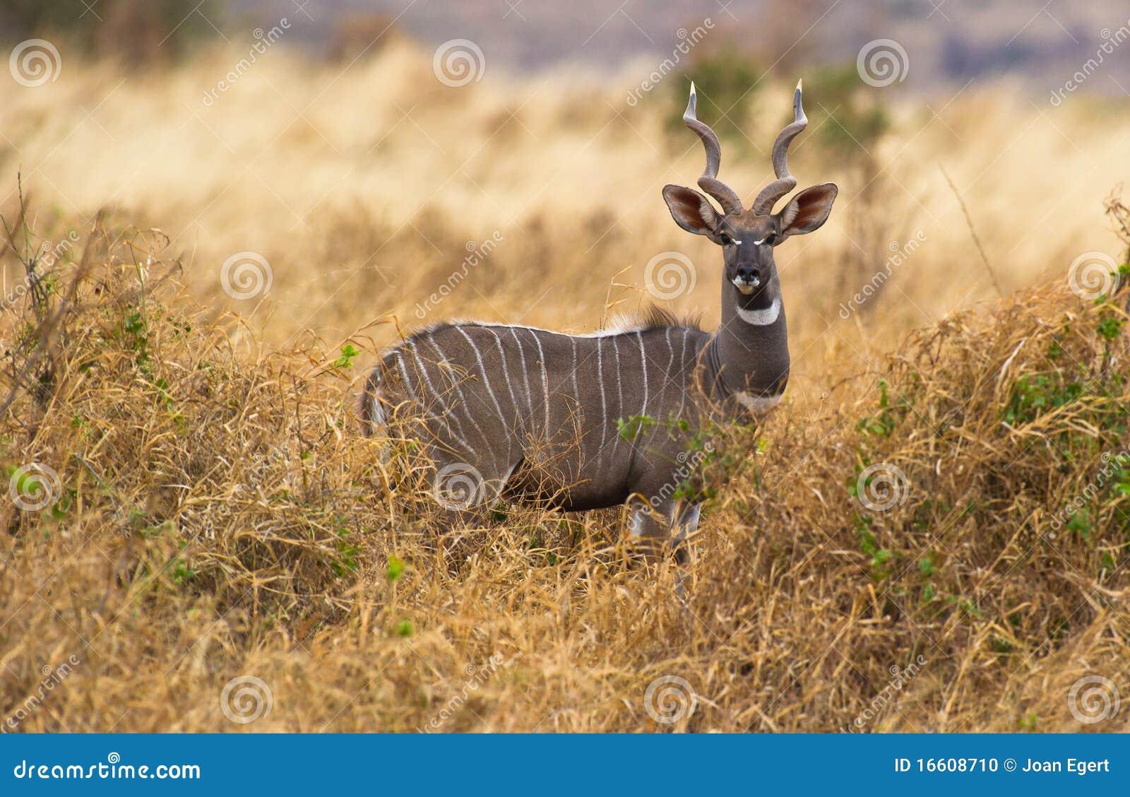 A Lesser Kudu Stock Photo - Image: 16608710