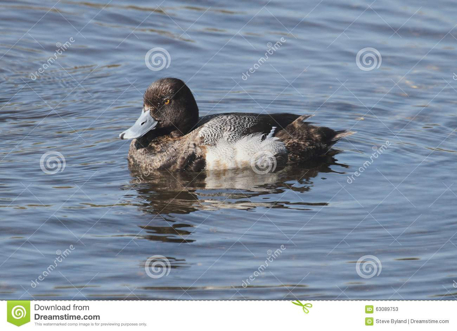 Download Lesser Scaup (affinis D'Aythya) Image stock - Image du animal, waterfowl: 63089753