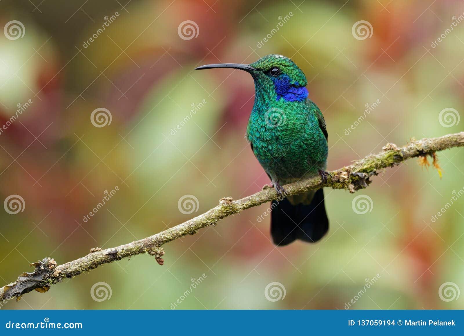 Lesser Violetear- - Colibri-cyanotus - Gebirgsviolettohr, metallische grüne Kolibrispezies fand allgemein von Costa Rica zu