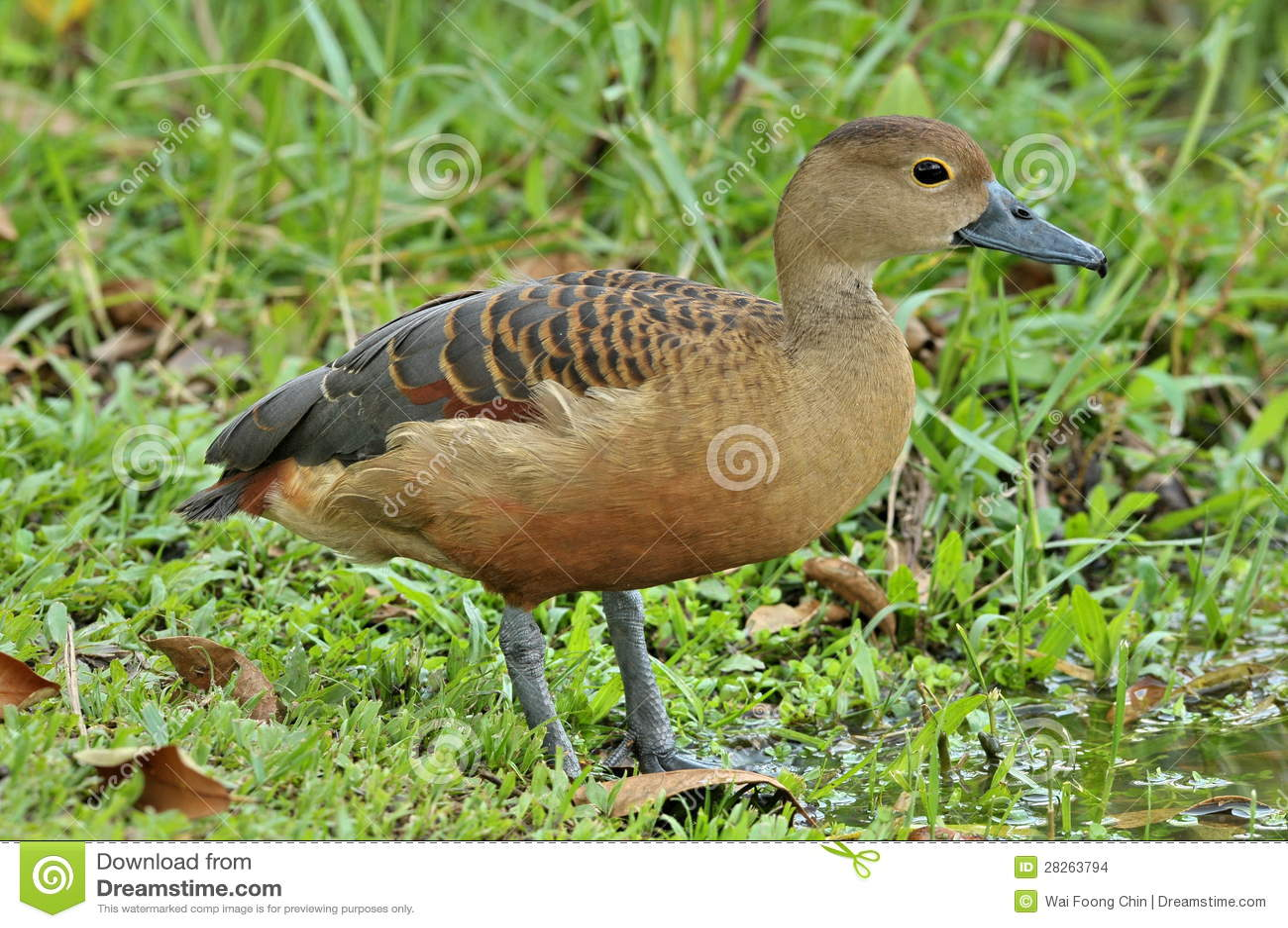 Lesser whistling duck - photo#27