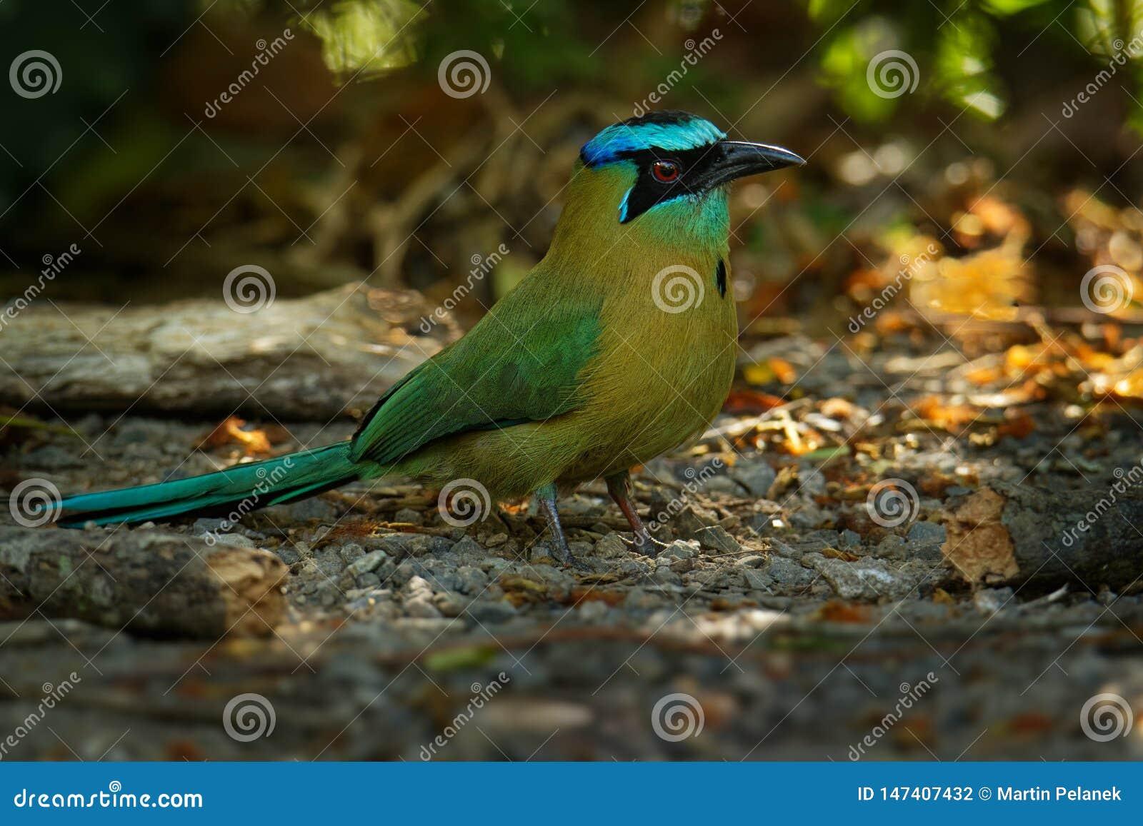 Lesson's motmot of blauw-diademed motmot Momotus-lessonii is een kleurrijke die dichtbijgelegen-passerinevogel in bossen en bos