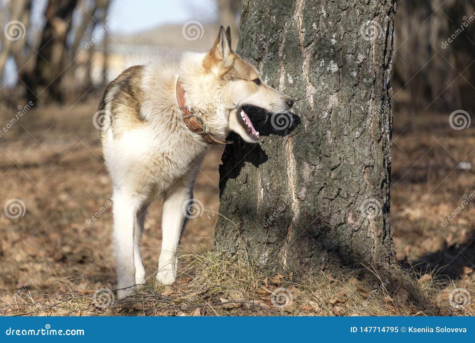Letten op van Laika van het oosten het Siberische in hout - perfecte veelzijdige jachthond E