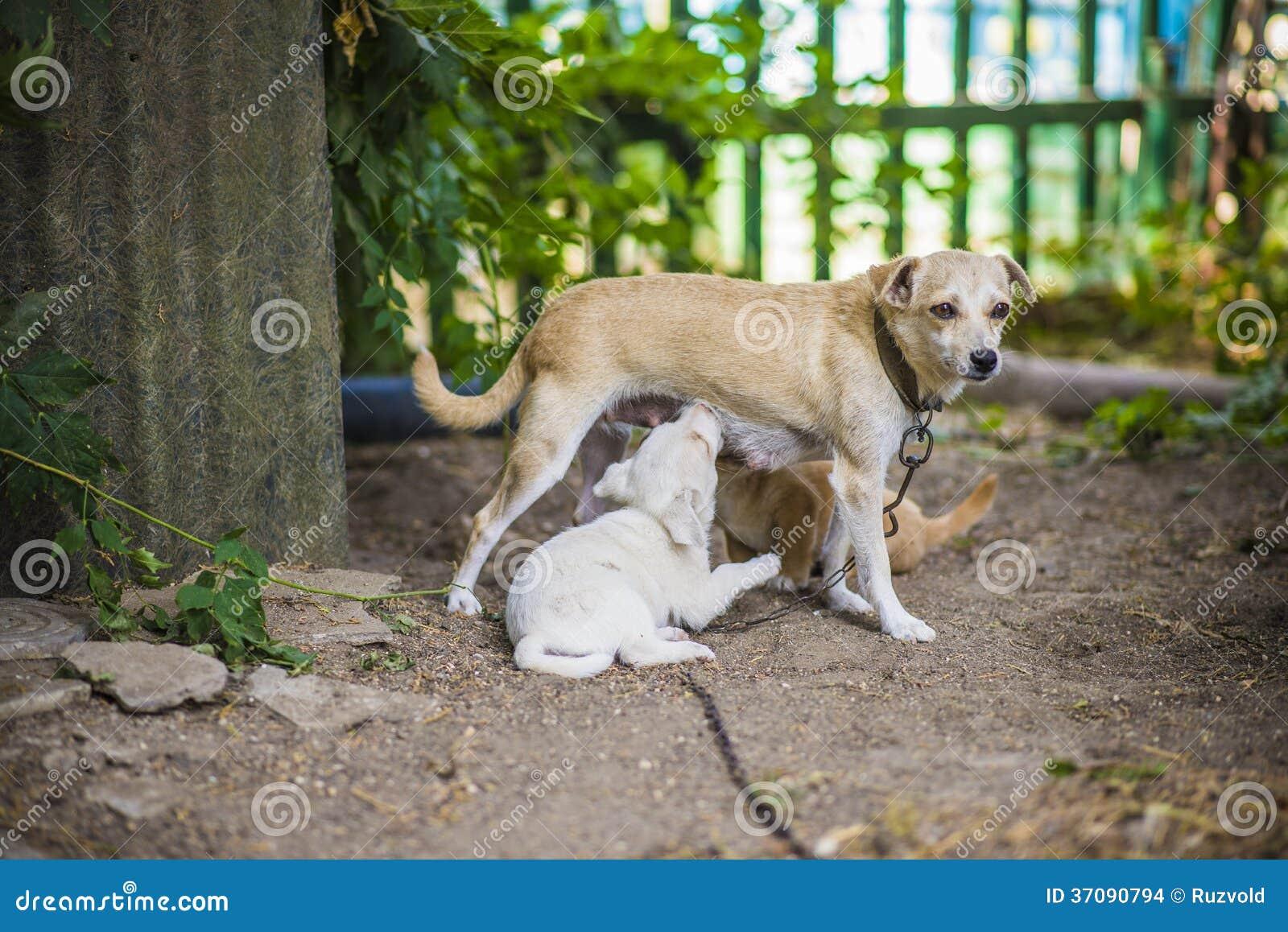 Download Lettle Psa Karmiący Szczeniak Zdjęcie Stock - Obraz złożonej z wykarmia, trawy: 37090794