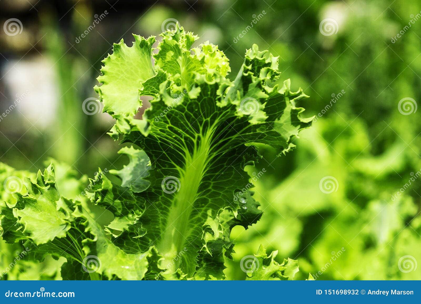 Letto del giardino con insalata, primo piano Fogli freschi della lattuga