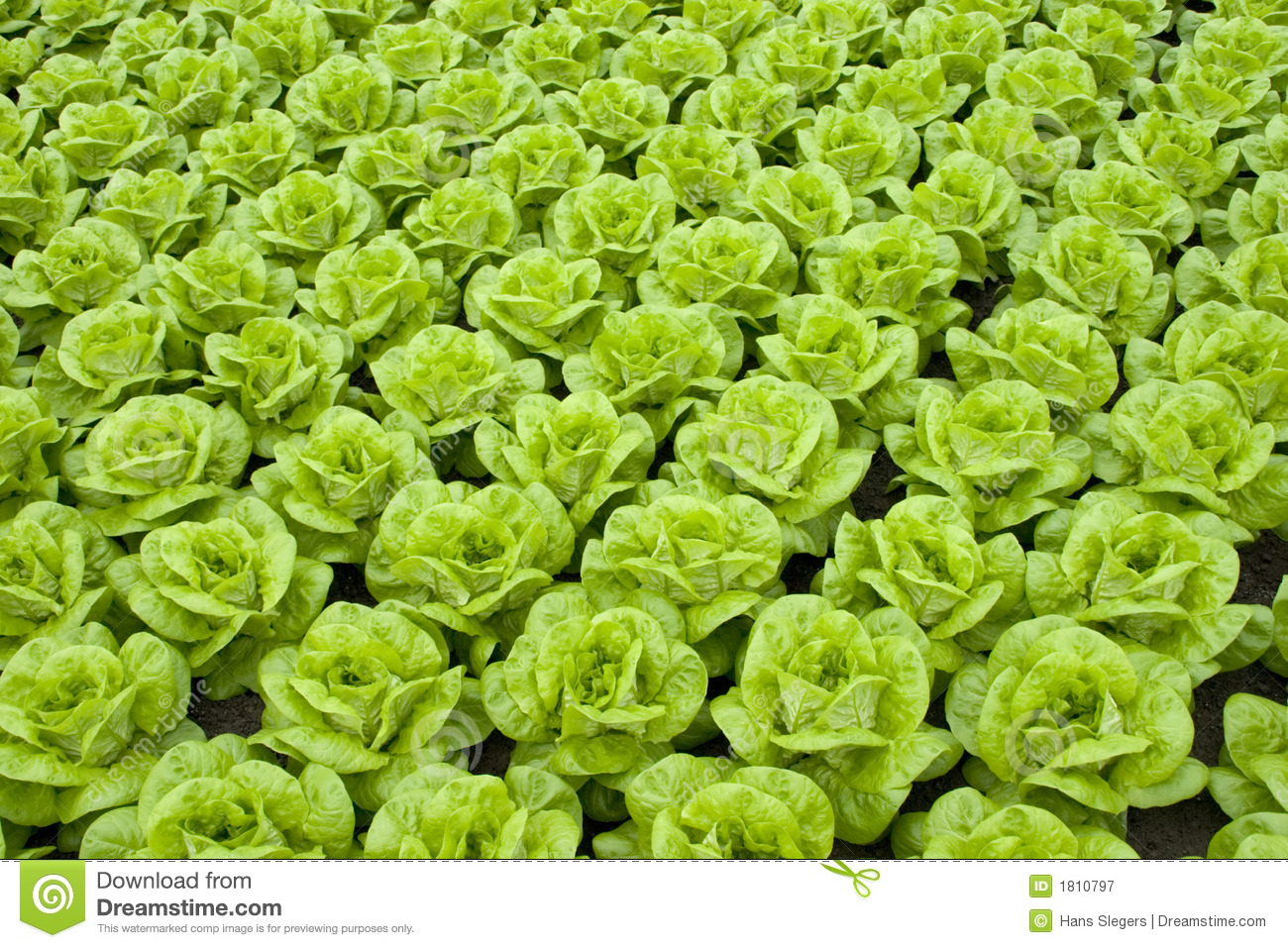 Rows of fresh green lettuce or butter-lettuce.