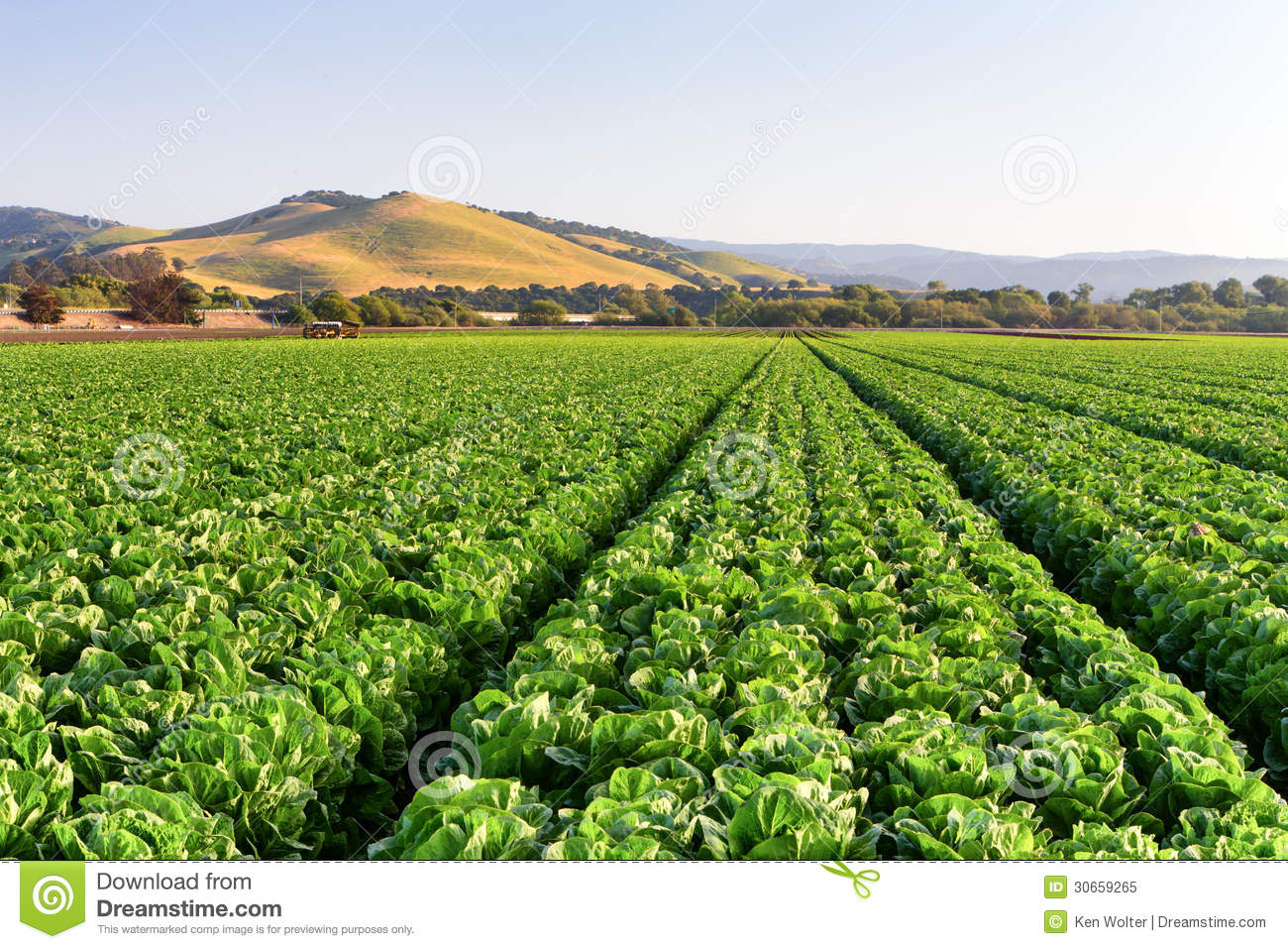 Lettuce Field In Salinas Valley Royalty Free Stock Photo - Image ...