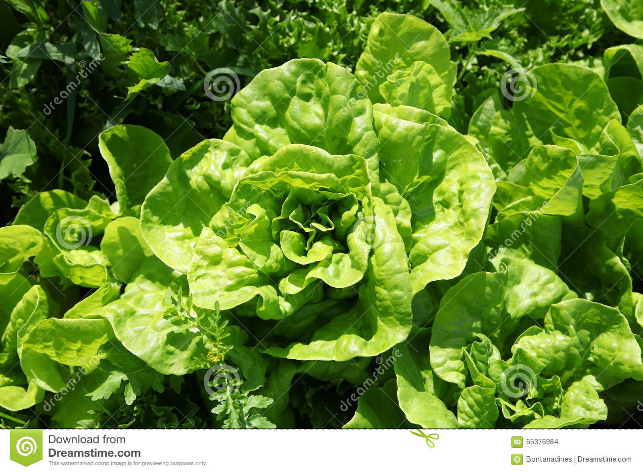 The Kitchen Garden Lettuce Growing In The Kitchen Garden Top View Stock Photo