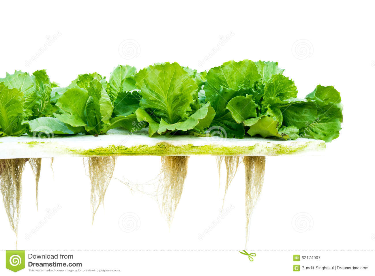 hydroponics on lettuce production essay Effects of different hydroponics systems and growing media on lettuce and herbs as well as production takes place inside enclosures that give control.
