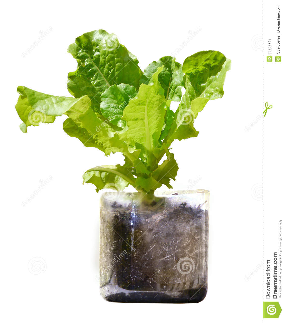 Lettuce Plant Growing In Recycled Plastic Bottle Royalty