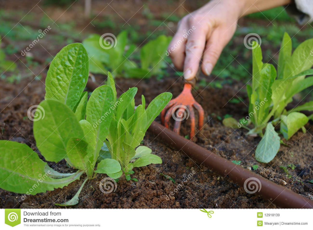 Lettuce plants cultivation in a home garden stock image for Home garden plants