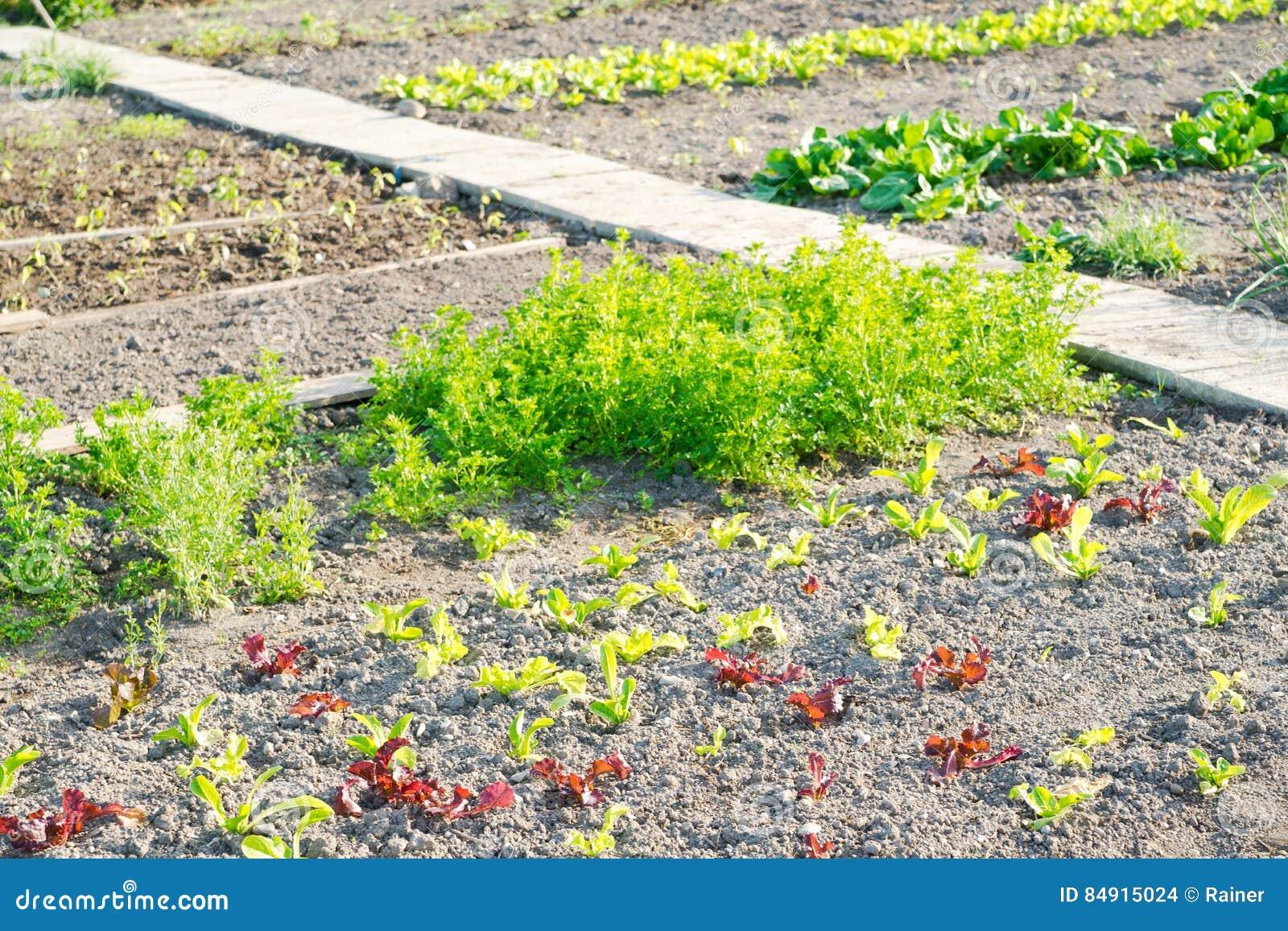 Lettuce Plants On A Vegetable Garden Patch