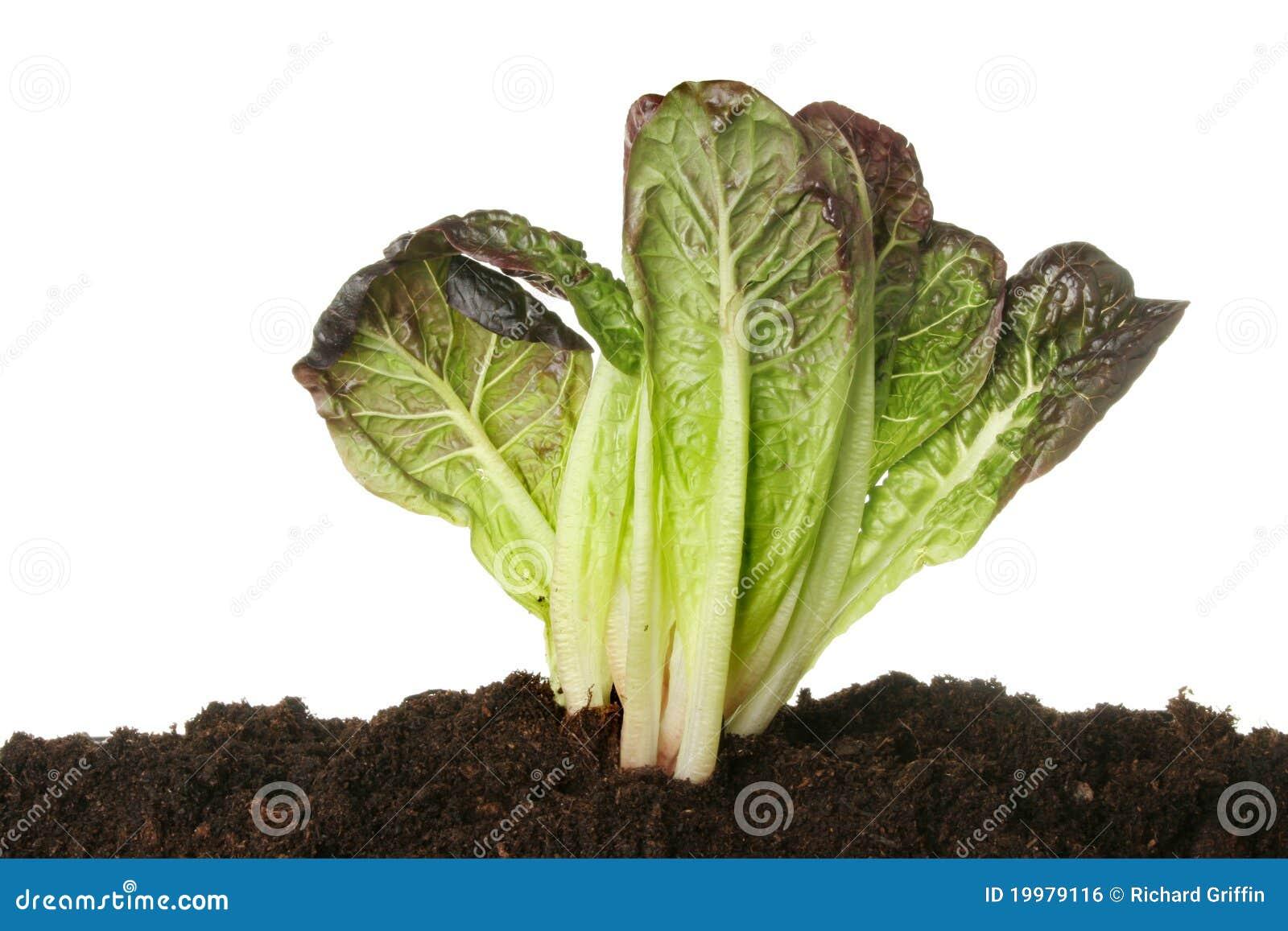 Lettuce In Soil Stock Photo Image Of Lettuce White 19979116