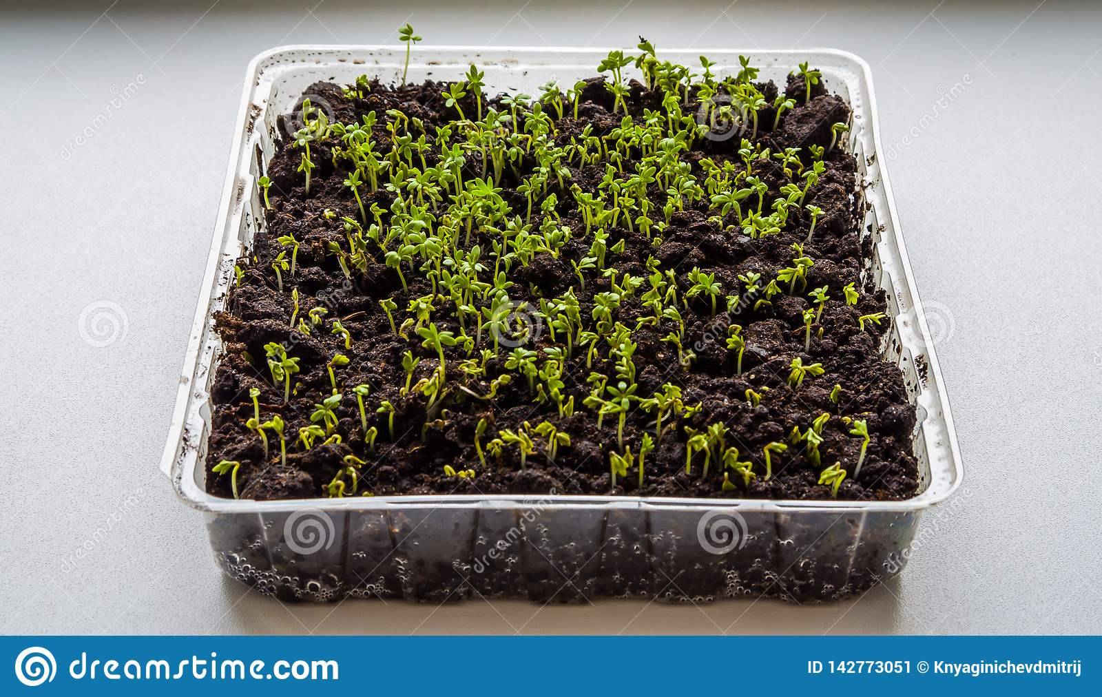 Lettuce sprouts grow indoors on the windowsill-image