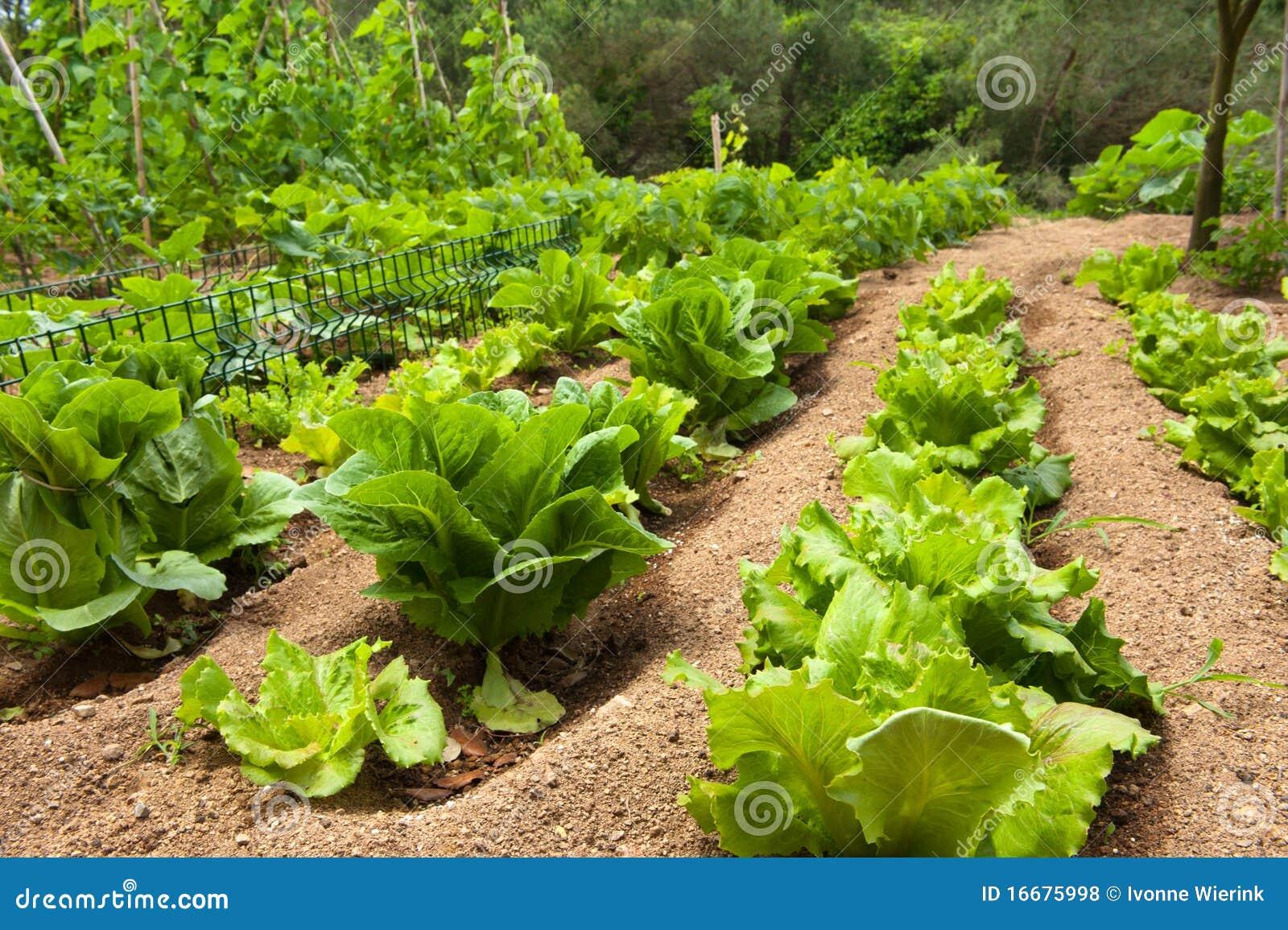 Backyard Vegetable Garden Business : Lettuce In The Vegetable Garden Royalty Free Stock Photos  Image