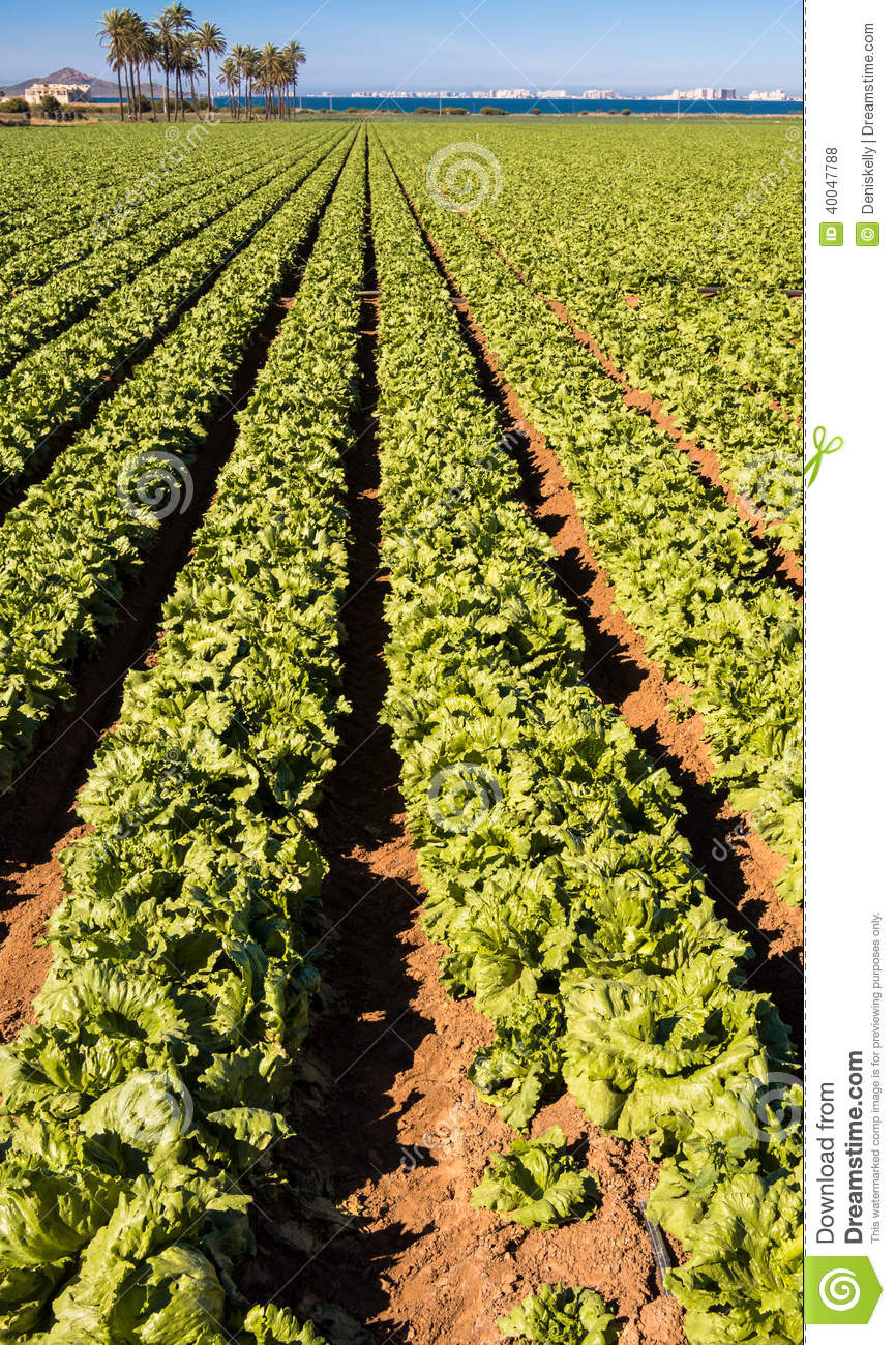 intensive farming: Lettuces Growing - Intensive Modern Agriculture