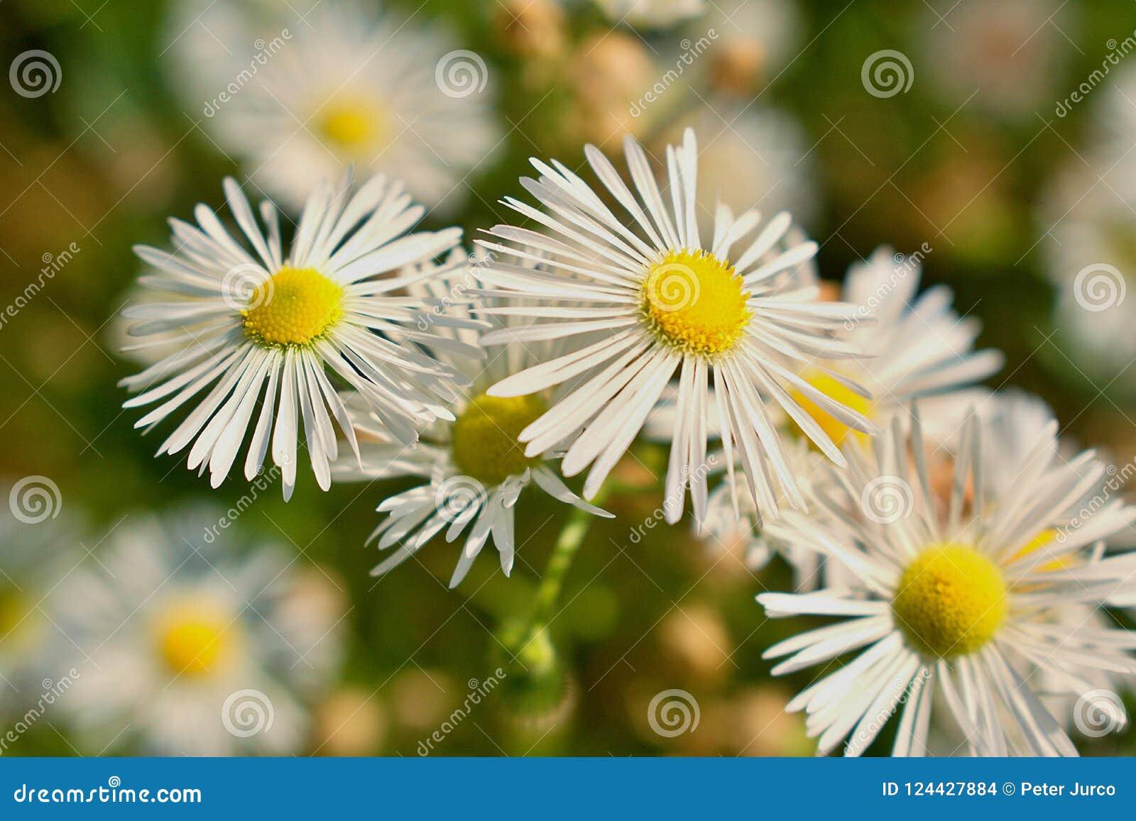 Download Leucanthemum - detail stock photo. Image of plant, central - 124427884