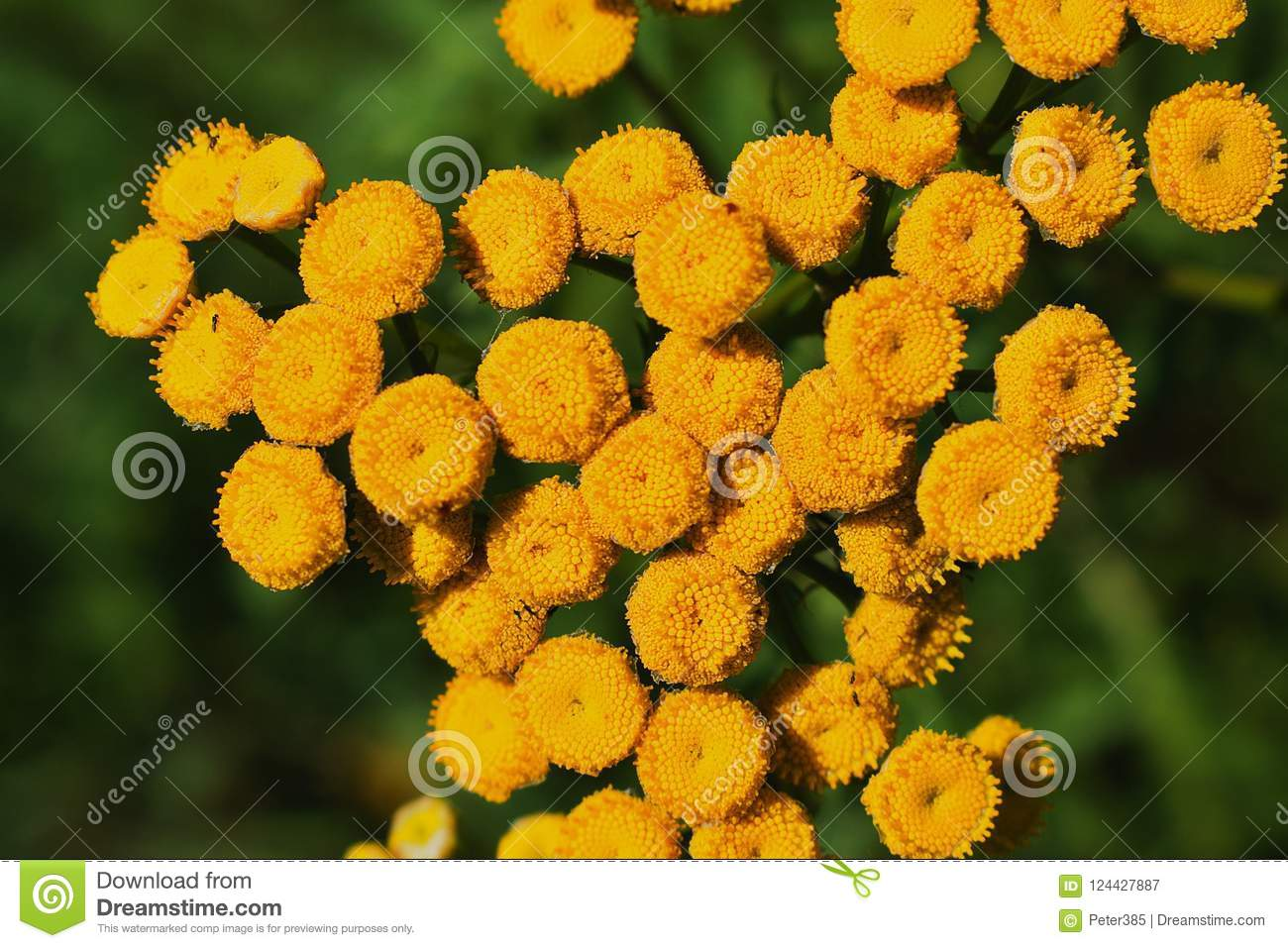 Download Leucanthemum - detail stock image. Image of asteraceae - 124427887