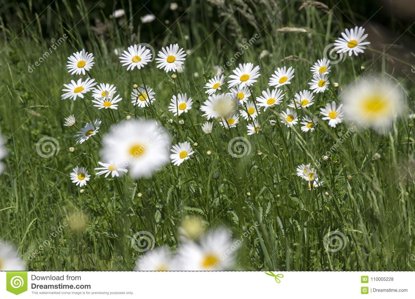 Leucanthemum vulgare meadows wild flower with white petals and leucanthemum vulgare meadows wild flower with white petals and yellow center in bloom mightylinksfo