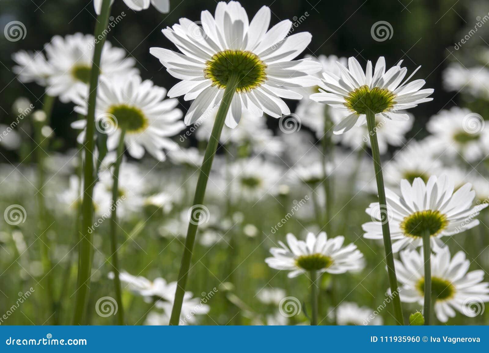 Leucanthemum vulgare meadows wild flower with white petals and download leucanthemum vulgare meadows wild flower with white petals and yellow center in bloom stock photo mightylinksfo