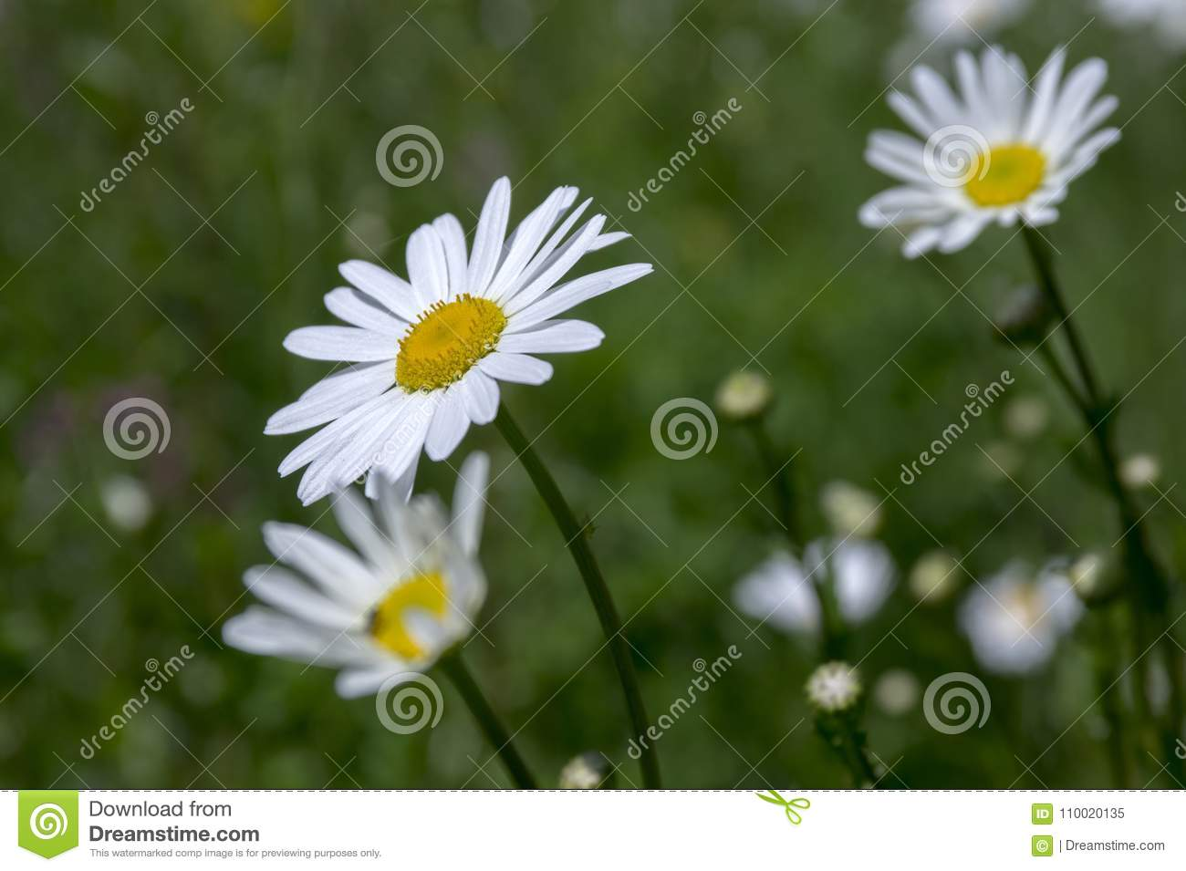 Leucanthemum Vulgare Meadows Wild Flower With White Petals And