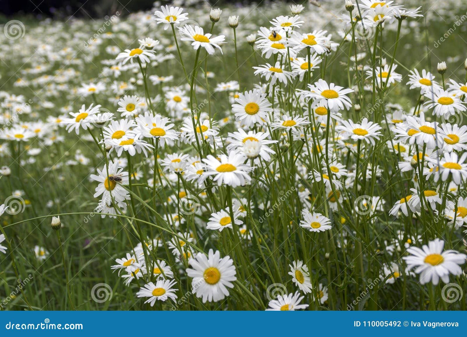 Leucanthemum vulgare meadows wild flowers with white petals and download leucanthemum vulgare meadows wild flowers with white petals and yellow center in bloom stock photo mightylinksfo