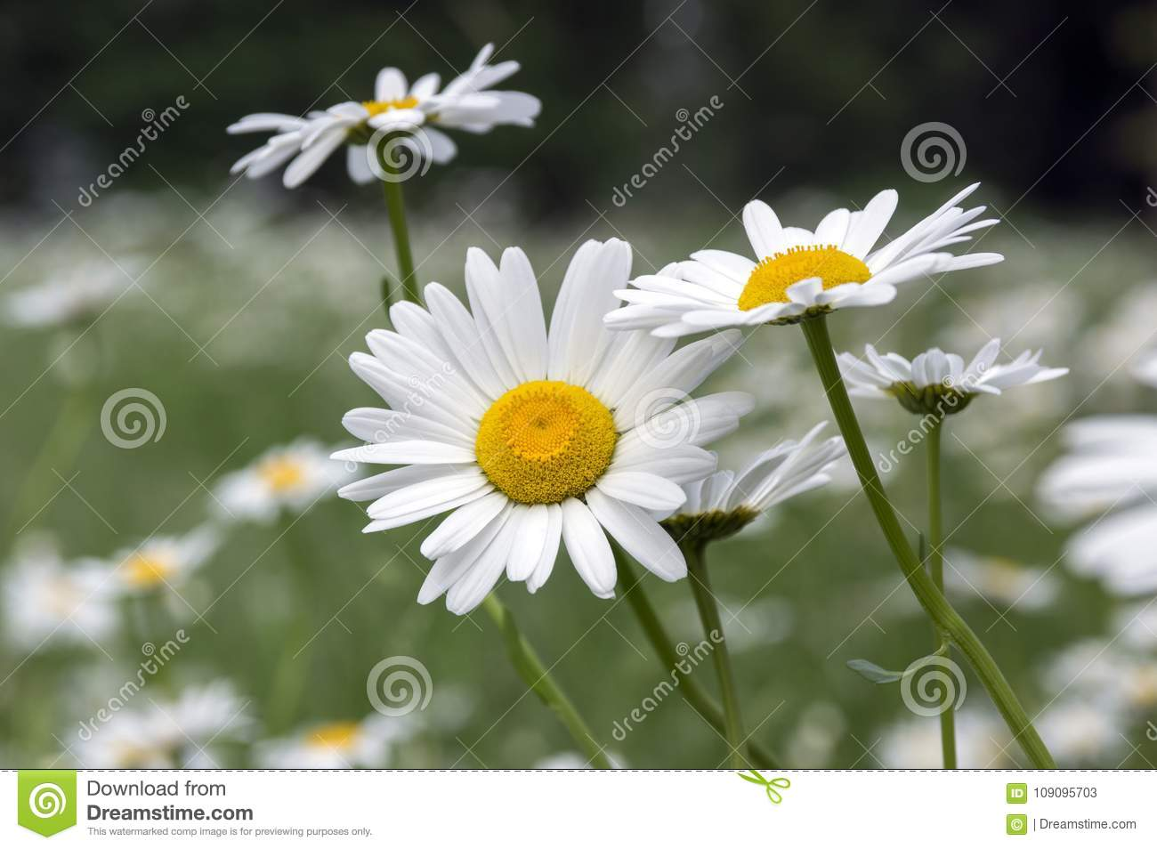 Leucanthemum Vulgare Meadows Wild Flowers With White Petals And