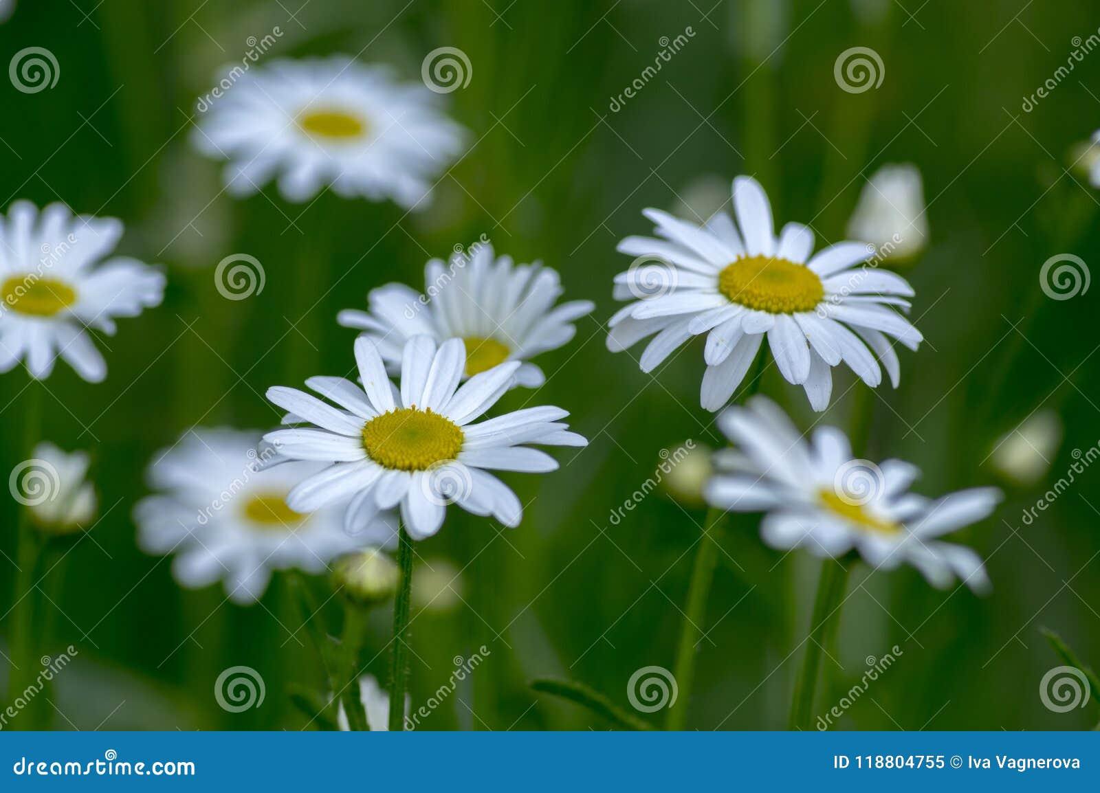 Leucanthemum vulgare meadows wild flowers with white petals and download leucanthemum vulgare meadows wild flowers with white petals and yellow center in bloom stock image mightylinksfo