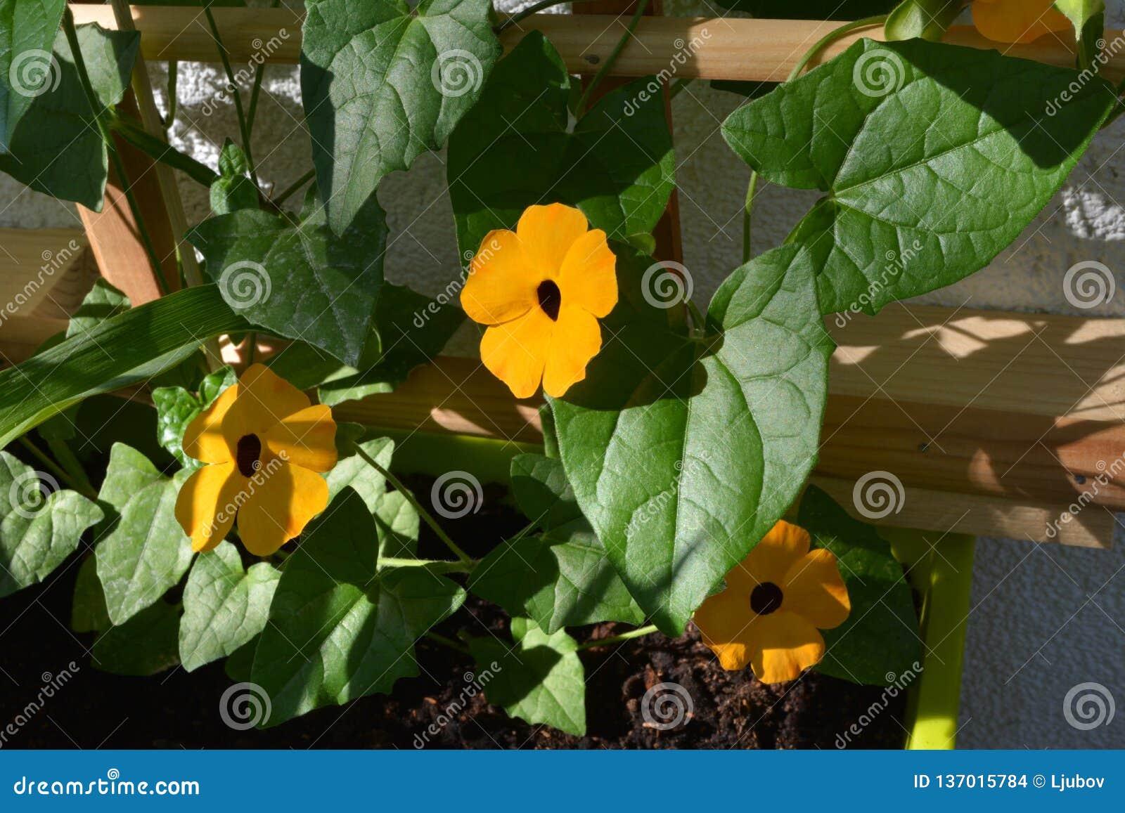 Leuchtorangeblumen von Thunbergia auf hölzernem Gitter auf dem Balkon Schwarz-äugiger Susan-Rebstock am sonnigen Tag des Sommers