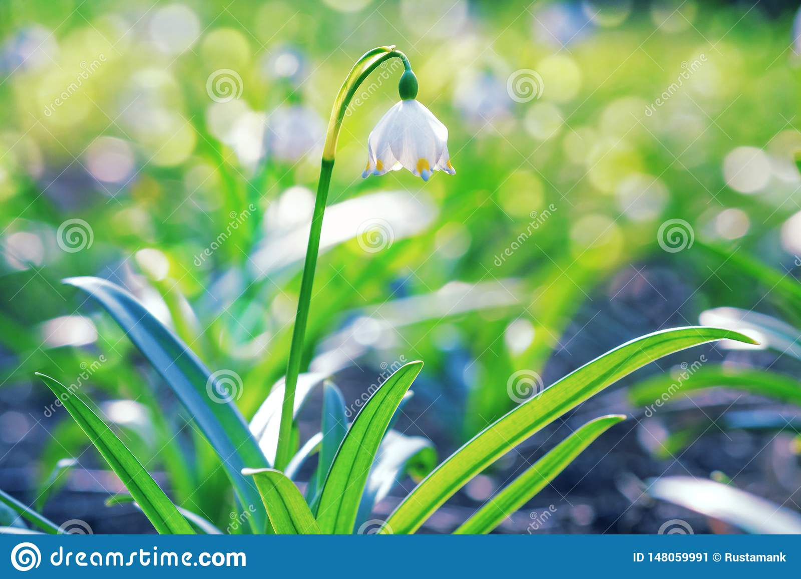 Leucojumvernum of de lentesneeuwvlok - bloeiende witte bloemen