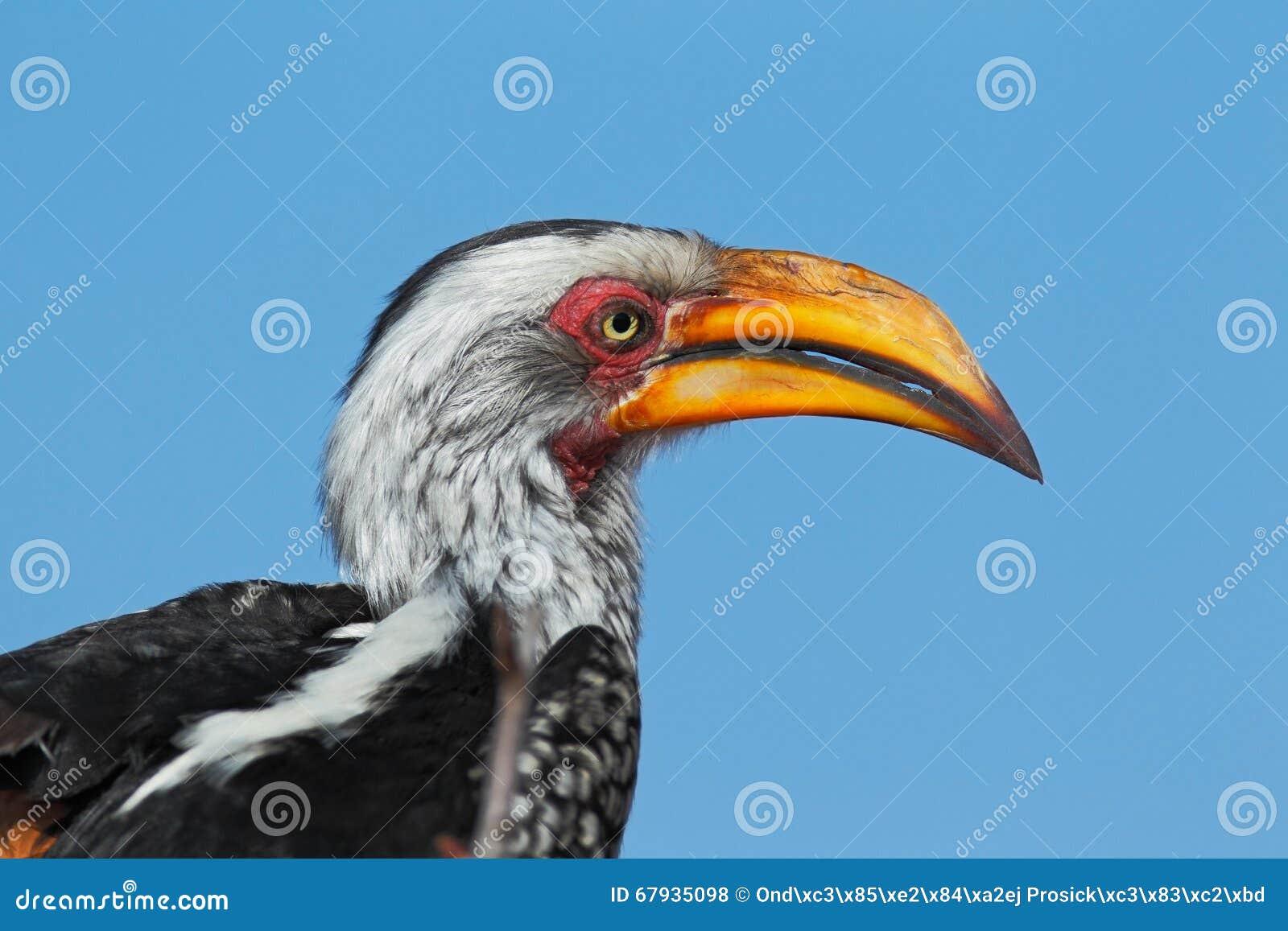 Leucomelas jaune affich s du sud de calao de tockus for Oiseau noir et gris