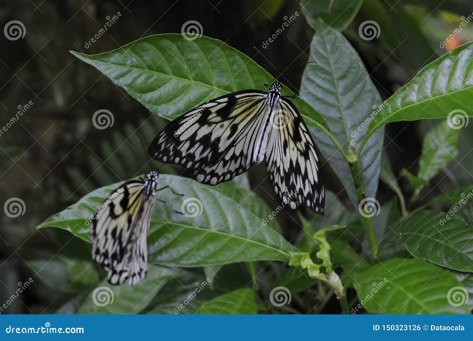 Leuconoe tropical d idée de plusieurs de papier papillons de cerf-volant