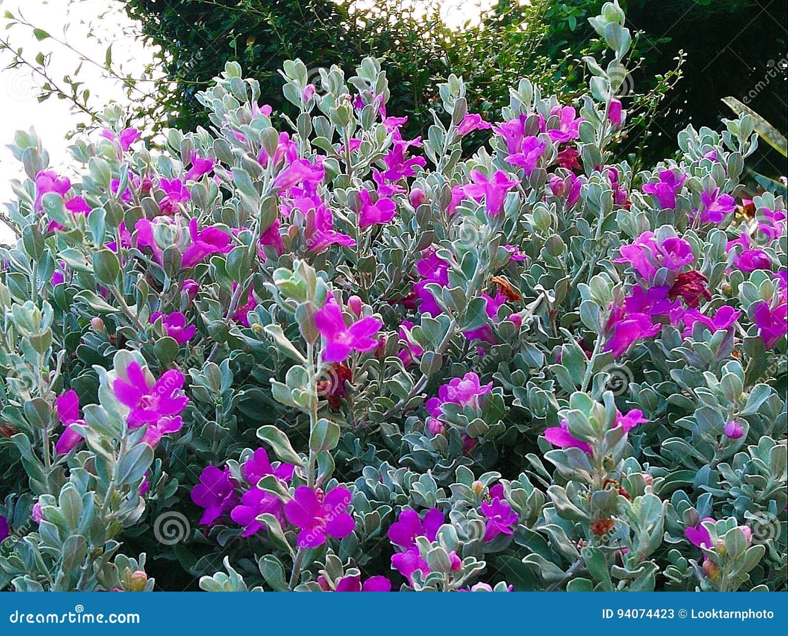 Leucophyllum Frutescens Stock Image Image Of Natural 94074423