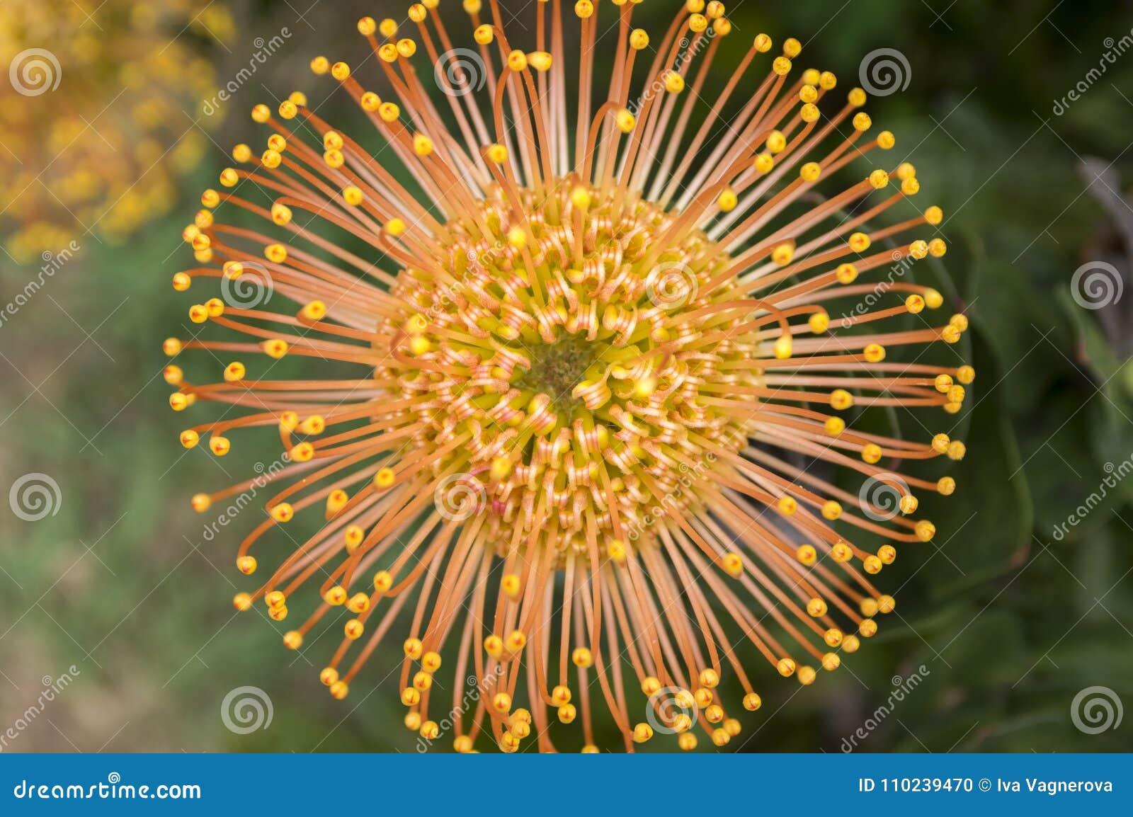 Leucospermum Condifolium Wonderful Orange Yellow Flowers In Bloom