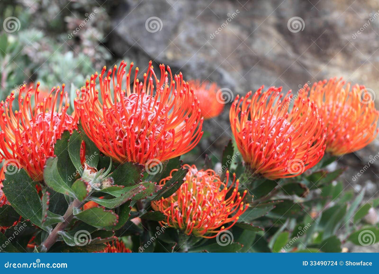 Garden Bush: Pincushion Protea Flowers Stock Images