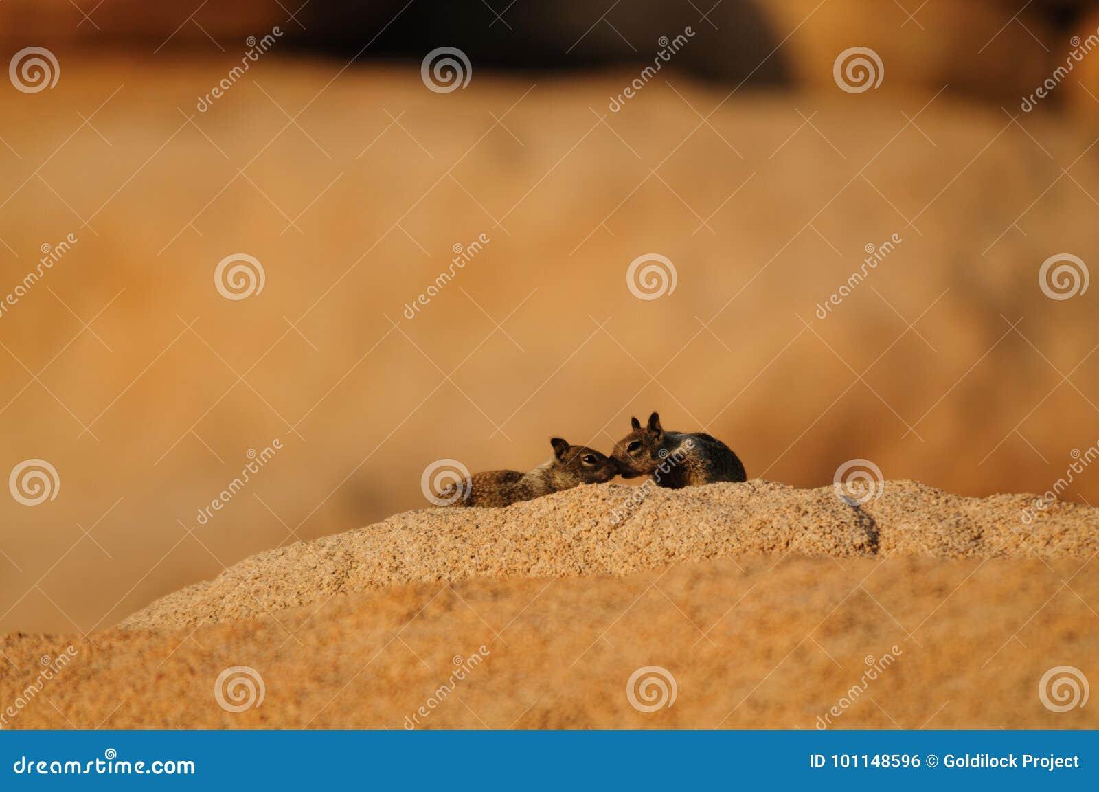 Leucurus atado dois brancos de Ammospermophilus do esquilo de antílope