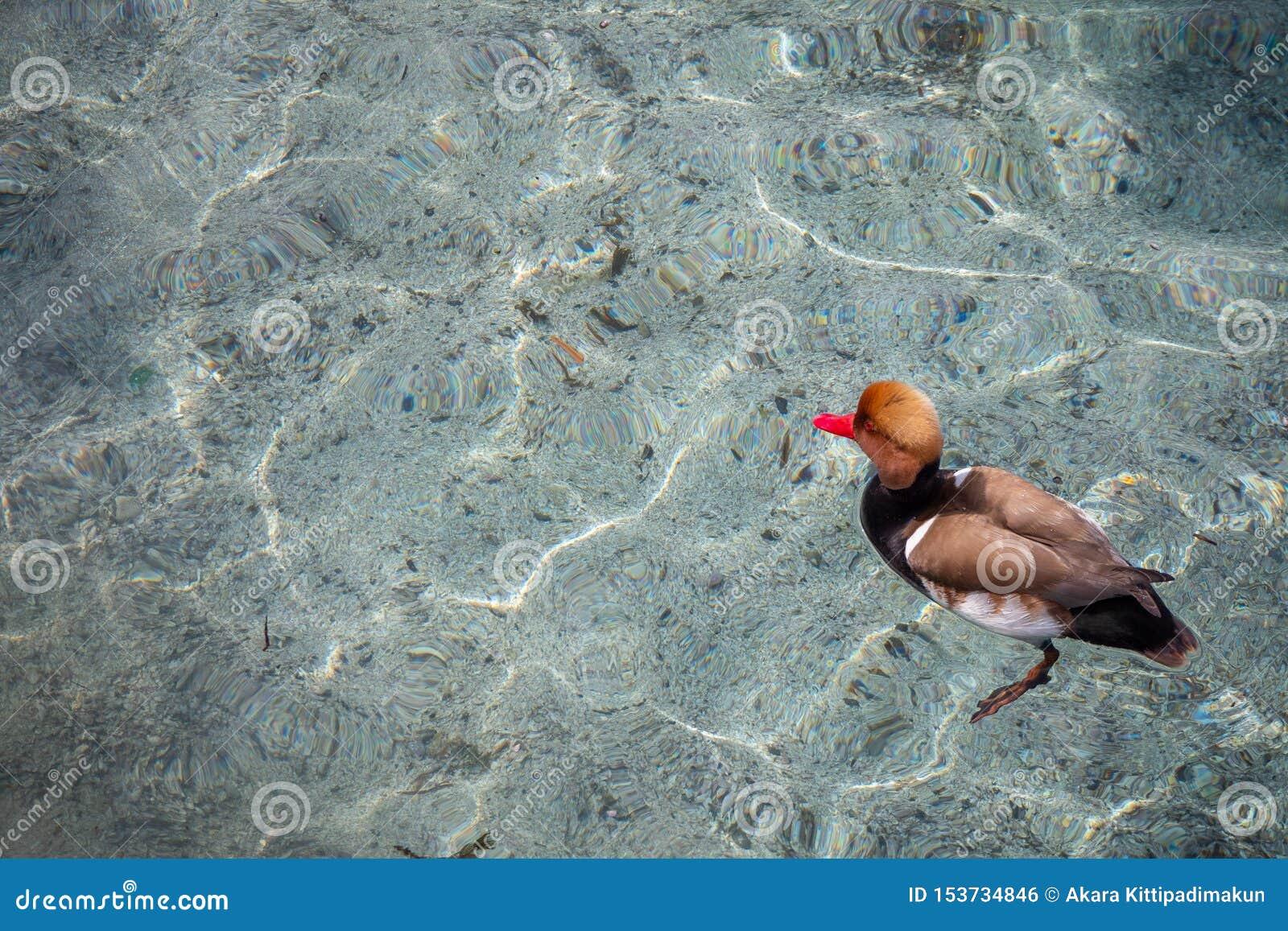 Leuk eendje dat in duidelijk water van het meer van Genève voor achtergrond drijft