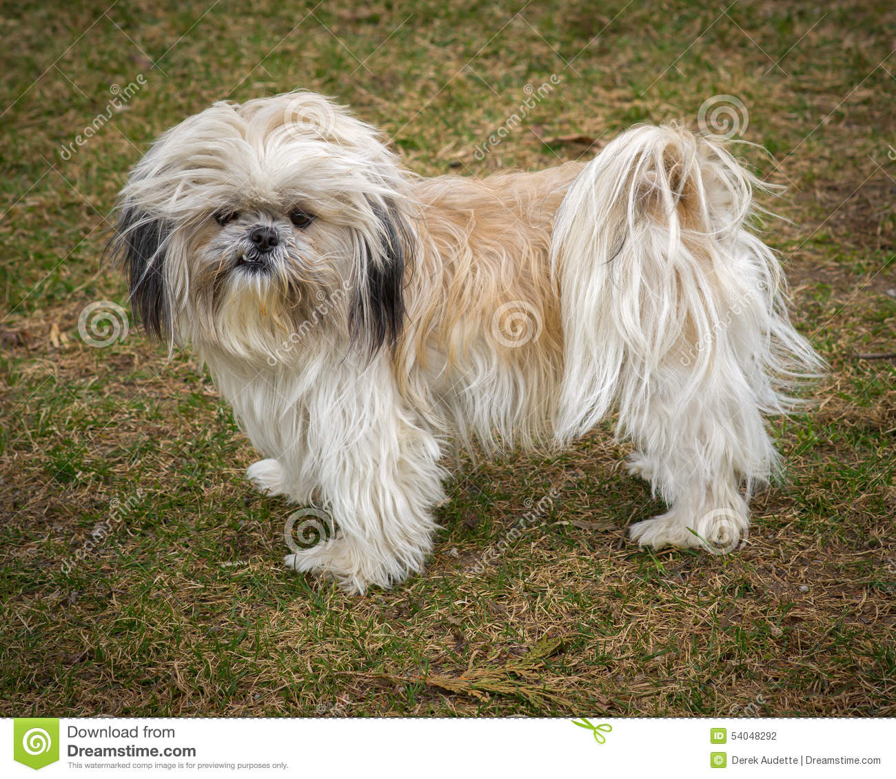 Imperial Shih Tzu Puppies for sale. Chinese